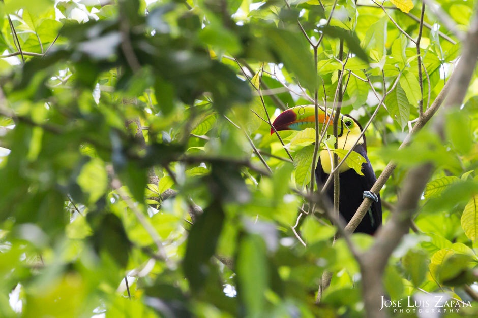 Keel-billed Toucan, National Bird of Belize.